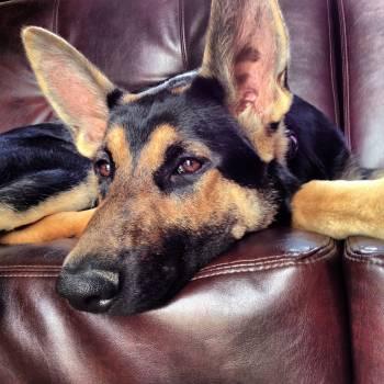 Shepherd dog Dog Canine Free Photo