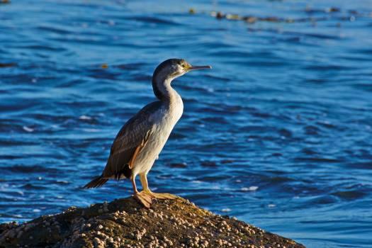 Wading bird Little blue heron Heron Free Photo