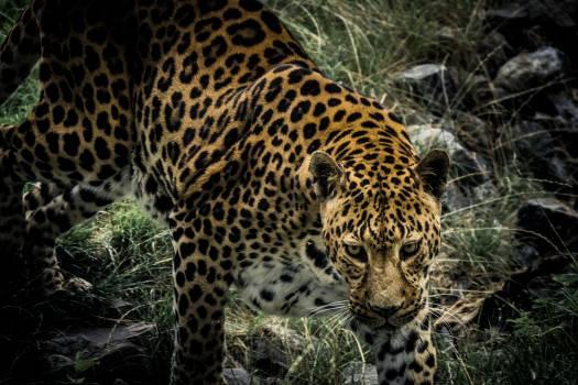 Leopard Feline Fur #163830