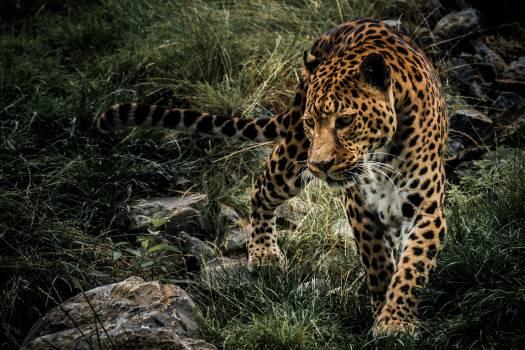 Jaguar Leopard Big cat #163831