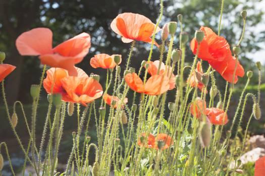 Tulip Tulips Plant #16389