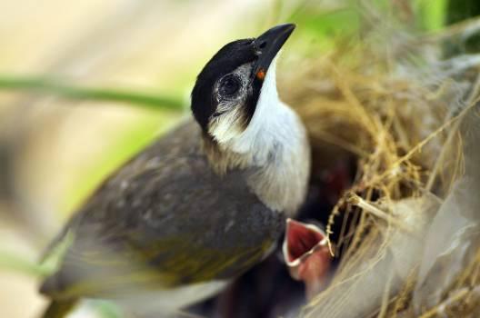 Bulbul Nightingale Thrush #16403