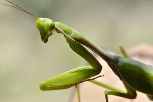 Mantis Insect Arthropod #16406