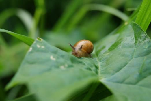 Acorn Fruit Snail #16409