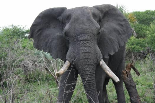 Mammal Tusker Elephant #164165