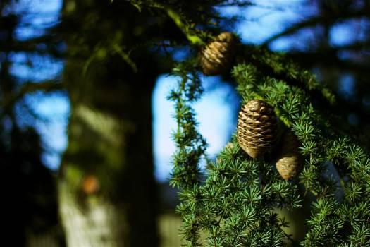 Fir Tree Evergreen Free Photo