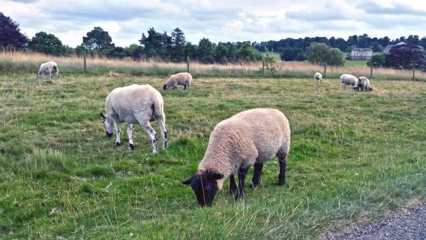 Simpleton Sheep Farm #164323