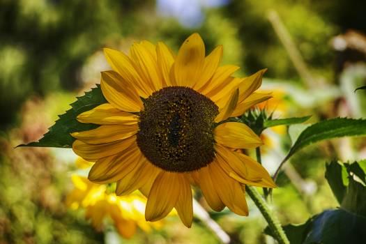 Sunflower Flower Yellow #164395