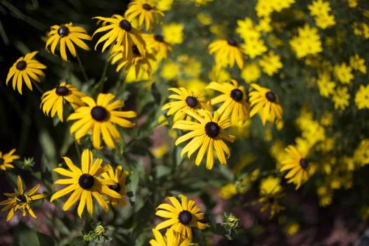 Sunflower Flower Yellow #16439