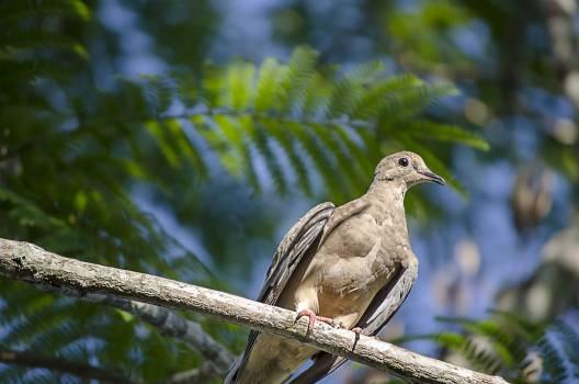 Dove Pigeon #16451