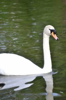 Swan Aquatic bird Bird #16452