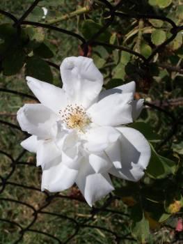 Rose Shrub Flower #164551