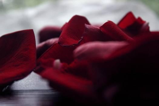 Red Petal Flower Free Photo