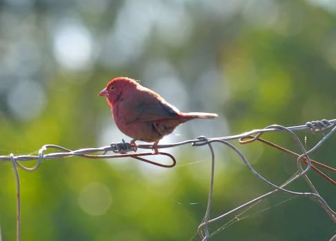 House finch Finch Bird #165264