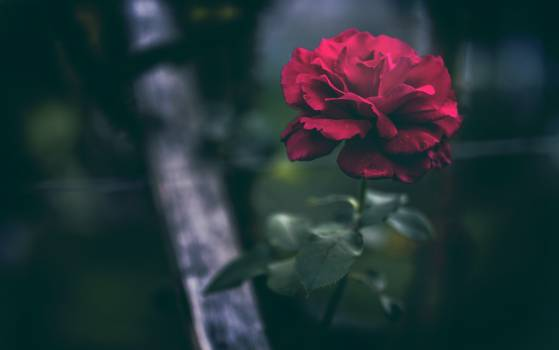 Geranium Herb Flower #165683
