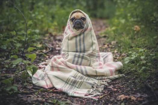 pug dog pet  #16586