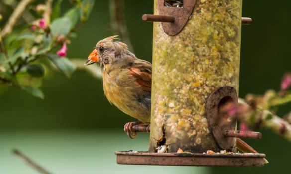 House finch Finch Bird #166186