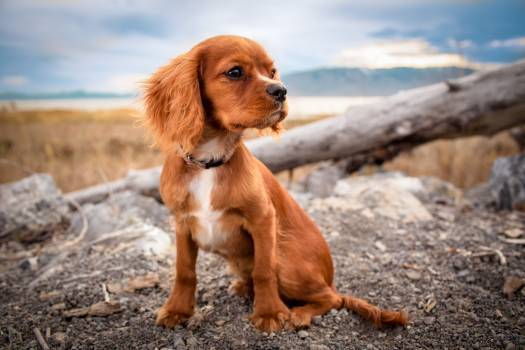 Retriever Dog Hunting dog #166214