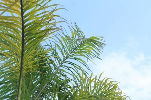 Palm Coconut Tree #166406
