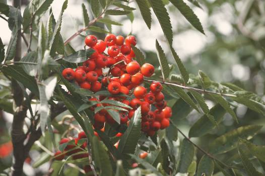 Holly Fruit Berry Free Photo
