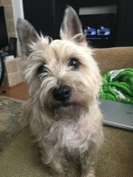 Cairn Terrier Hunting dog #166423
