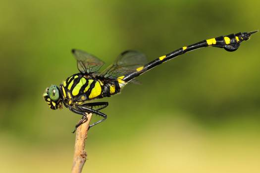 Dragonfly Insect Arthropod Free Photo
