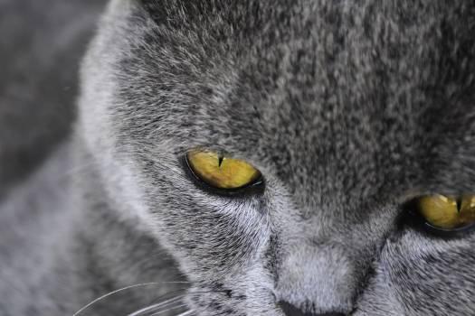 Cat Great grey owl Feline Free Photo