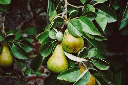 Fruit Edible fruit Tree #166666