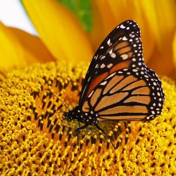 Monarch Butterfly Danaid #166827