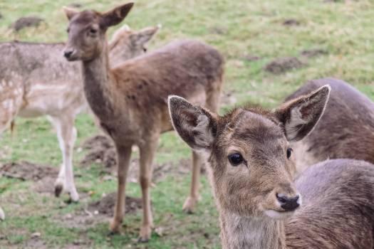 Buck Mammal Calf Free Photo