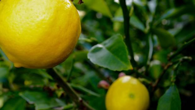Lemon Citrus Edible fruit #168140
