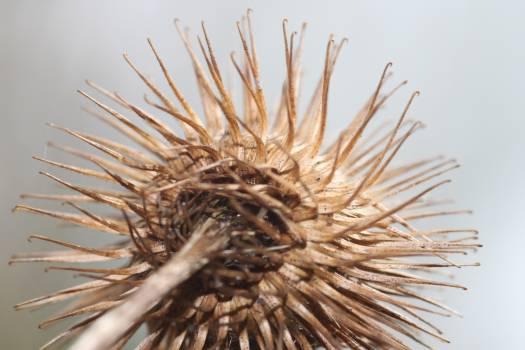 Wheat Sea urchin Echinoderm Free Photo