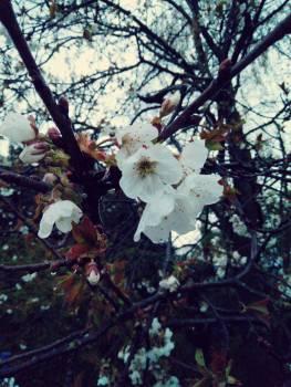 Almond Tree Blossom #168682