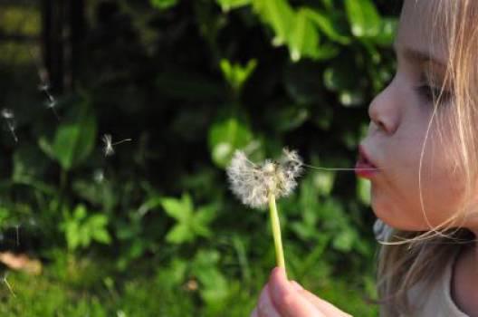 blowing dandelion flower  #16888