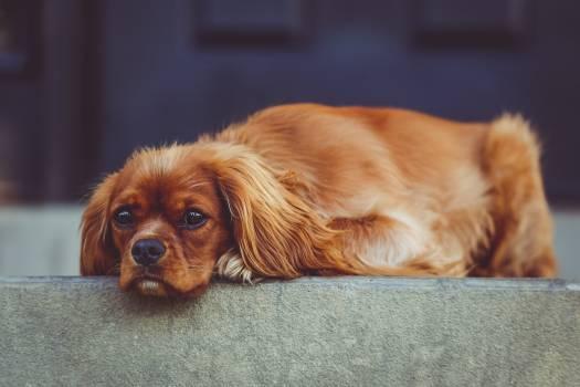 Dog Spaniel Pet Free Photo