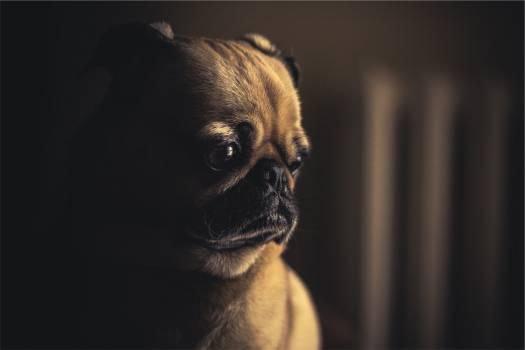 pug dog pet  #16950