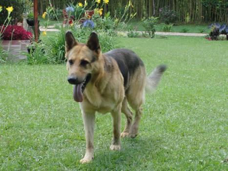 Shepherd dog German shepherd Dog #169569
