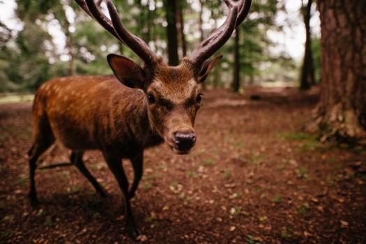 Deer Animal Wildlife Free Photo