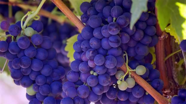 grapes fruits vines  #17075