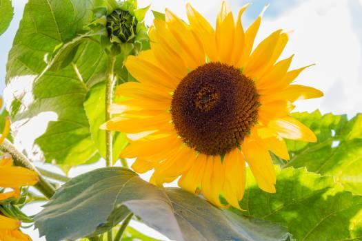 Sunflower Flower Yellow #171120