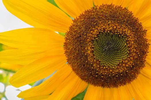 Sunflower Flower Yellow #171122