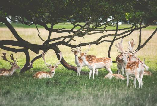 Buck Placental Antelope Free Photo