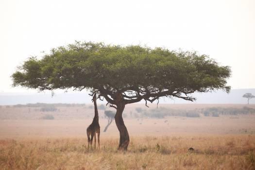 Tree Woody plant Antelope Free Photo