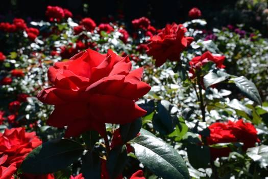 Flower Shrub Petal Free Photo