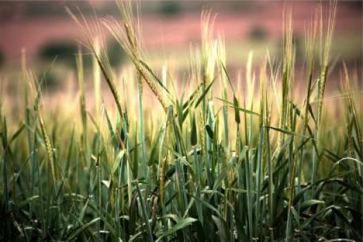 wheat plants crops  #17525