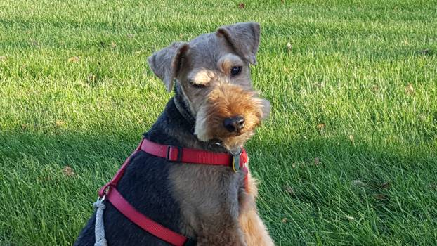 Hunting dog Airedale Terrier #176077