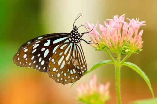 Butterfly Monarch Danaid Free Photo