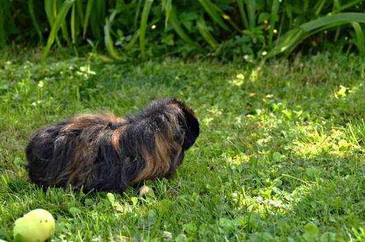 Silky terrier Terrier Hunting dog #176625
