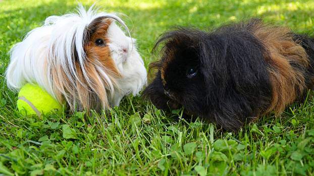 Guinea pig Cavy Rodent #176627