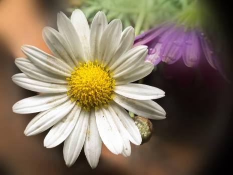 Daisy Flower Plant #176816